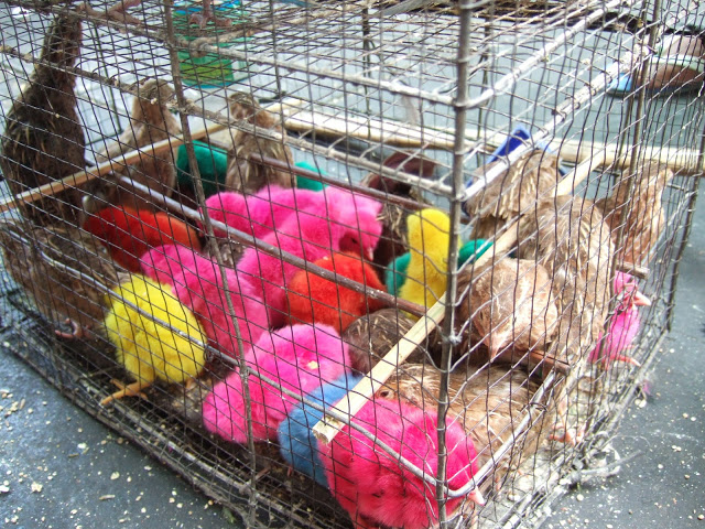 Photo of variously coloured baby chicks