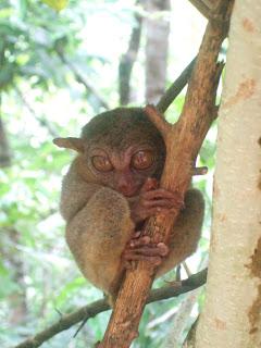 Photo of a tarsier