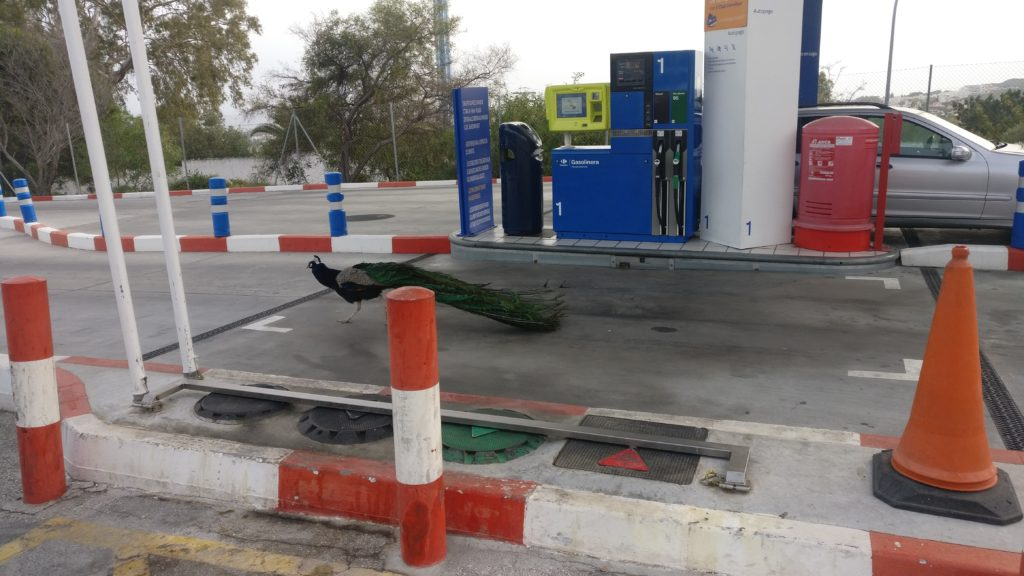 Peacock in forecourt